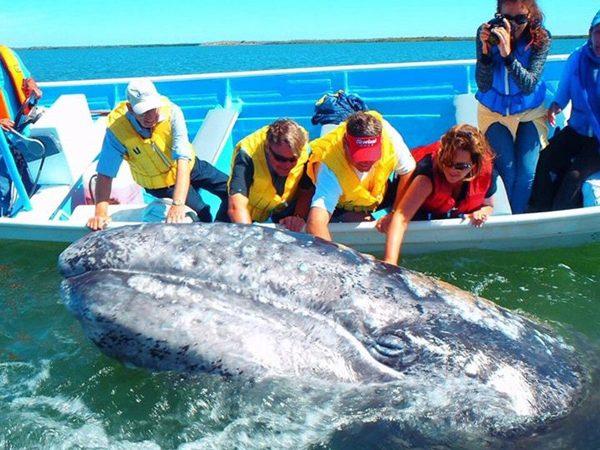 Gray-whale-baja