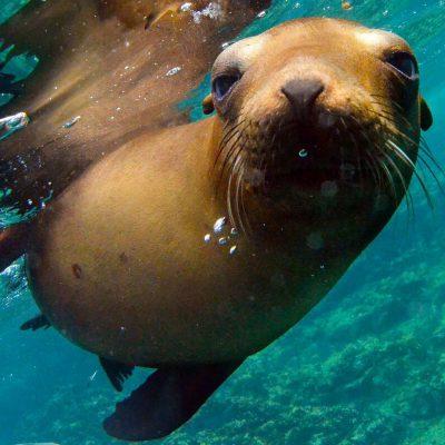 Baja-seal-swim