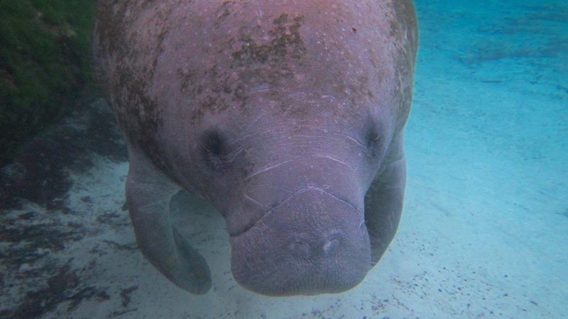 Eco Tour destinations - Homosassa and Crystal River Florida Manatees