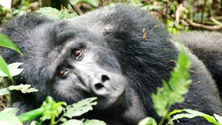 Uganda Africa Gorilla Trekking