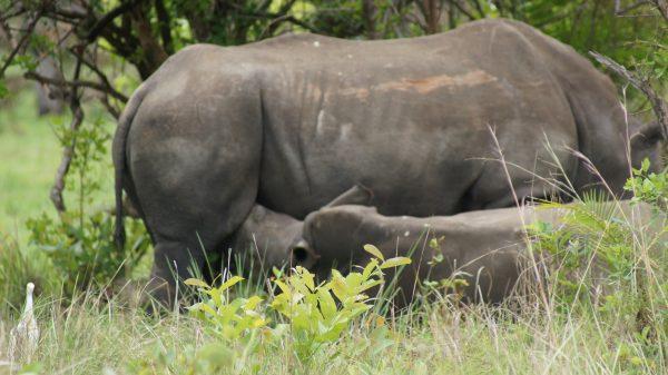 rhinoceros nursing