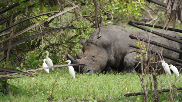 Rhinos with egrets
