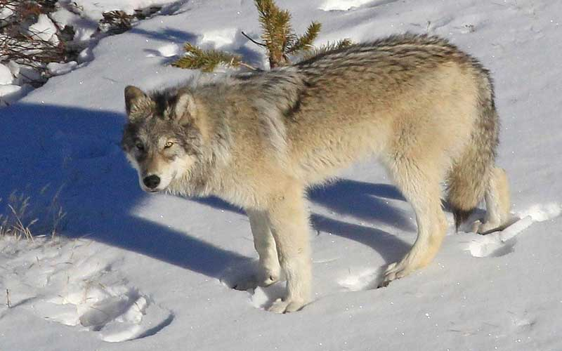 Yellowstone Winter Wolves Womens Eco Tour
