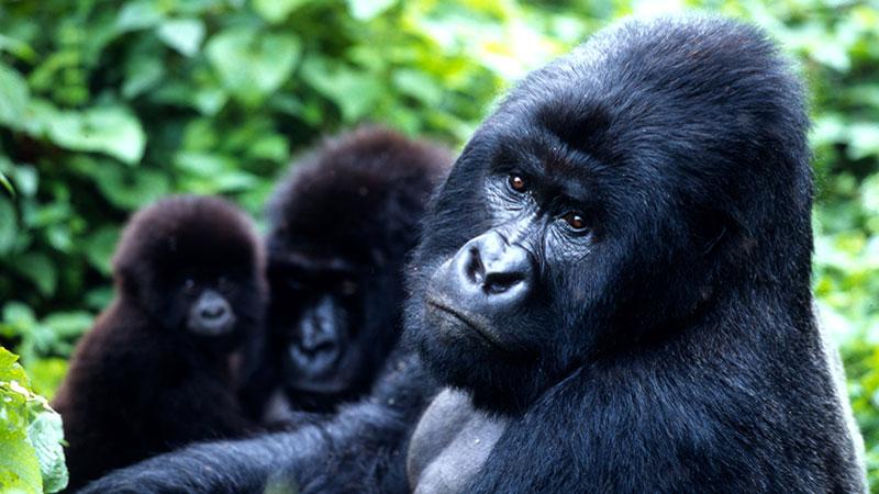 Uganda-Gorilla-Trekking-2021