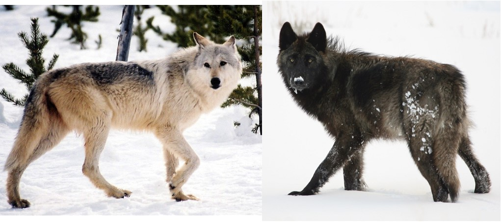 Gray Wolves: Genetic Research Links Coat Color Gene With Physical & Behavioral Traits in Yellowstone's Wolves.